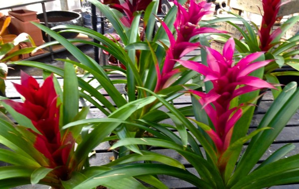 Bromelead is a tropical flower with a long indoor bloom time