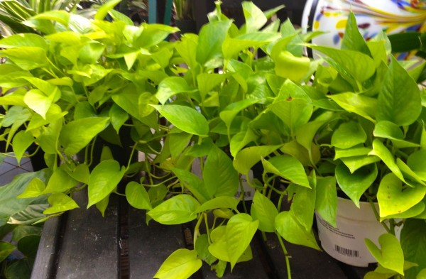 Pothos is a variety of Philodendran easily grown indoors in low light