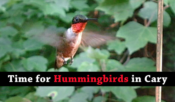 hummingbirds-cary-nc
