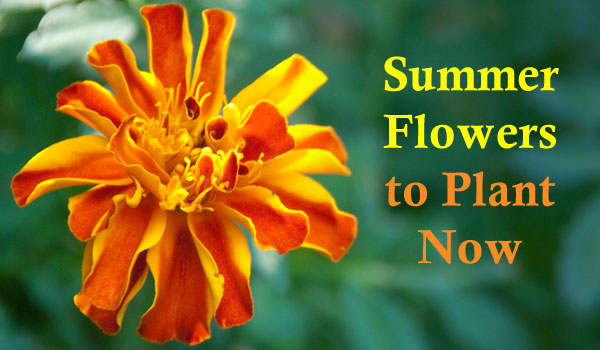 summer-flowers-to-plant-now