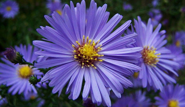 fall planting guide - asters
