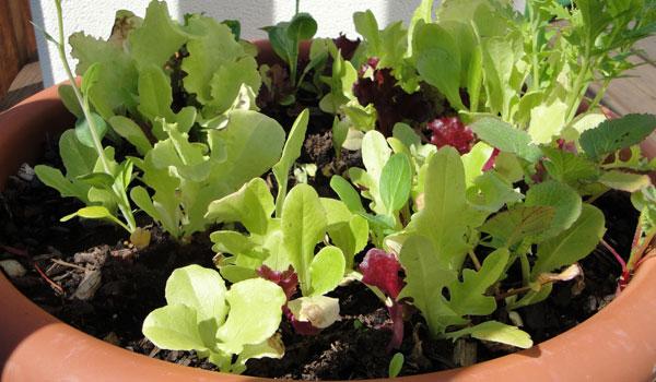 fall planting guide - Mesclun lettuce