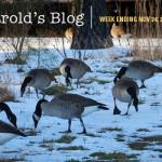 harolds-blog-geese