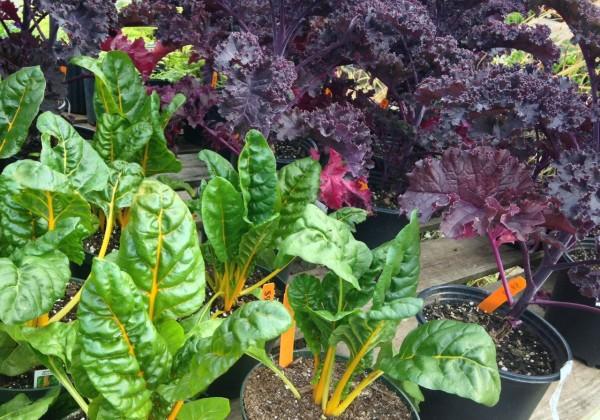 edible ornamentals -  - chard