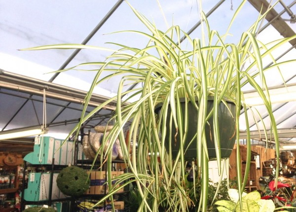Spider Plants, are easy to grow indoors.