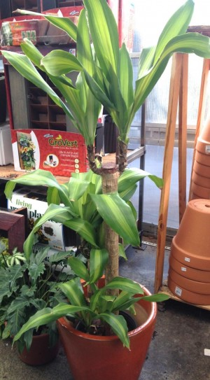 standalone plants like this one, make a statement in a room