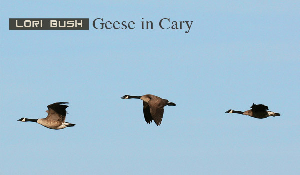 geese-cary