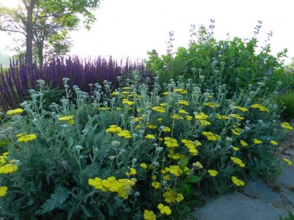 Vigorous plants in Cary include Yarrow