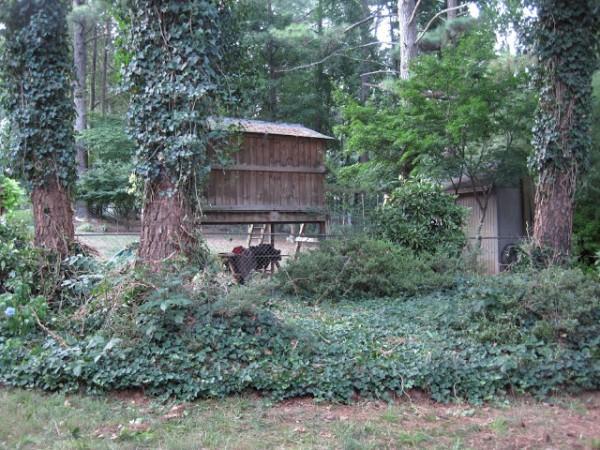 backyard ivy