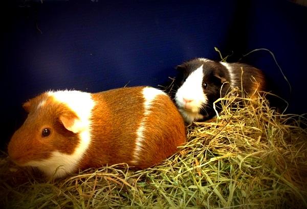 Guinea pigs Spencer and Devon found homes through AniMall's support of Carolina Pet Rescue.