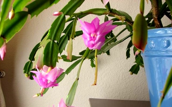 The Christmas cactus is beautiful, but it requires a lot of care.