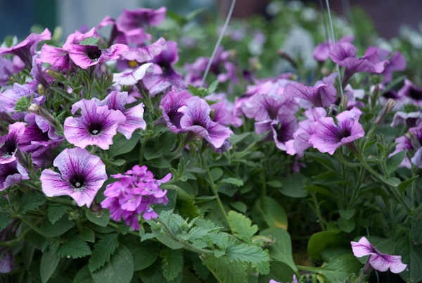 Petunias like full sun and are wonderful annuals to plant now in Cary