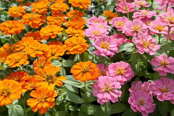 Zinnias are full sun lovers and will provide color the entire summer
