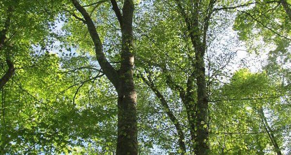 Cary Trees