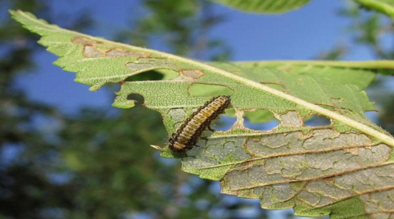 Skeletonized Elm Leaf Beetle