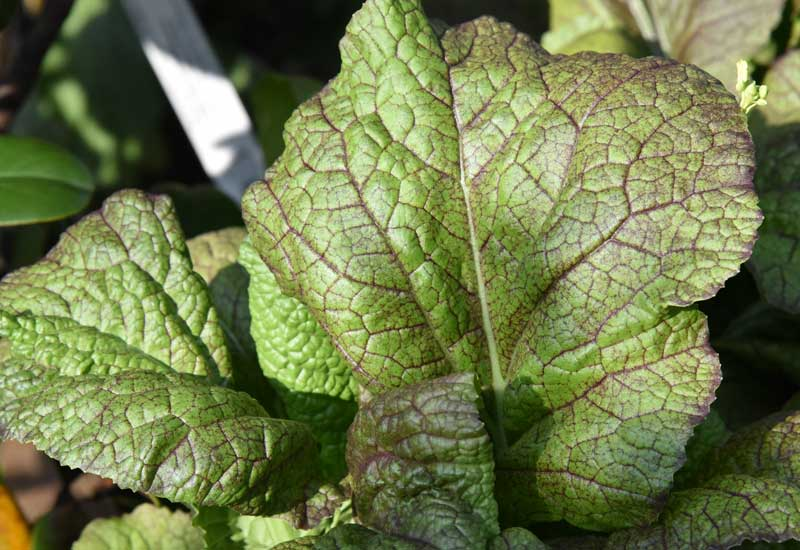 Red Giant mustard.