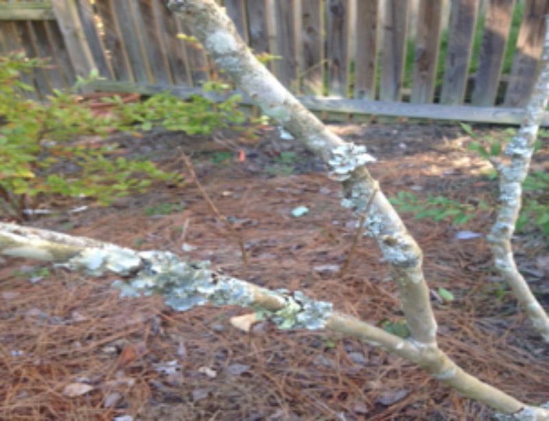 Lichen on a Crepe Myrtle branch