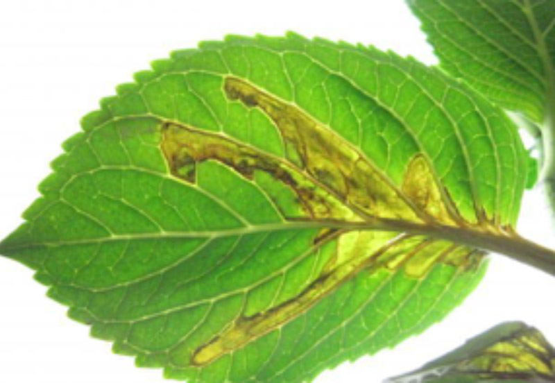 Leaf spots on a Hydrangea caused by bacteria