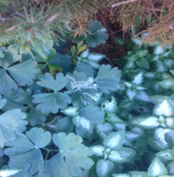 Leaf miner marks on a Columbine plant