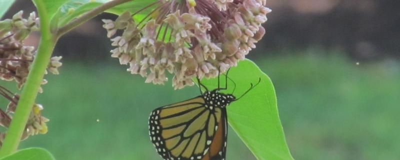 Cary Butterflies